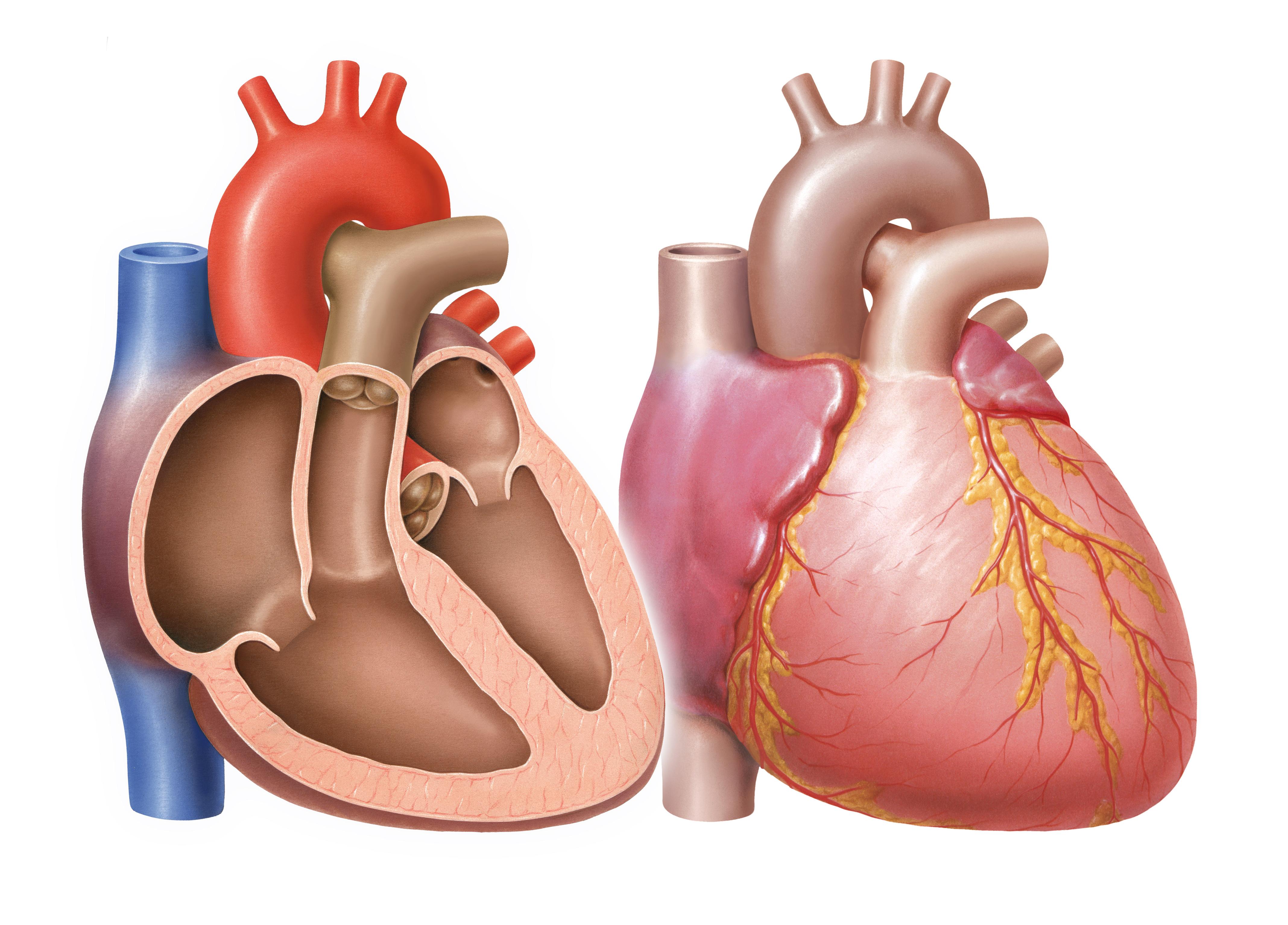 Shs Beteiligt Sich An Herzklappenreparatur Start Up Coremedic